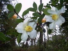 这才是油茶树的花,区分于茶叶树的花