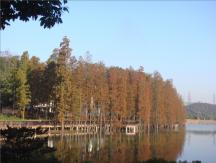 美丽的秋景—池杉