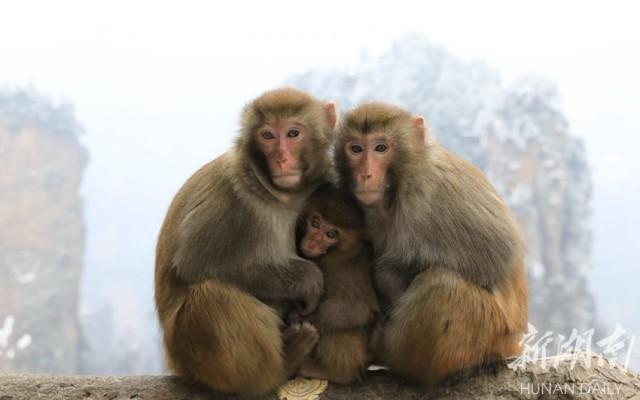 张家界武陵源景区天气持续晴好,络绎不绝的游客涌向张家界看山赏雪,在黄石寨山顶,大量呆萌的野生猕猴为中外游人带来无限欢乐。顽皮、滑稽是猴的本性,有的小猴子,抓耳挠腮、上蹿下跳、挤眉弄眼,向游人讨要食物;有的在津津有味地吃着东西;有的在树上荡过来,荡过去;还有的猴子在互相挠痒痒,享受的表情让人忍俊不禁。张洪涛 摄   猕猴是国家二级保护动物,由于近年来张家界武陵源加大了对森林生态环境及动植物生存环境的保护力度,为野生猕猴的繁衍生息创造了有利条件,猕猴的数量也在逐年增加。